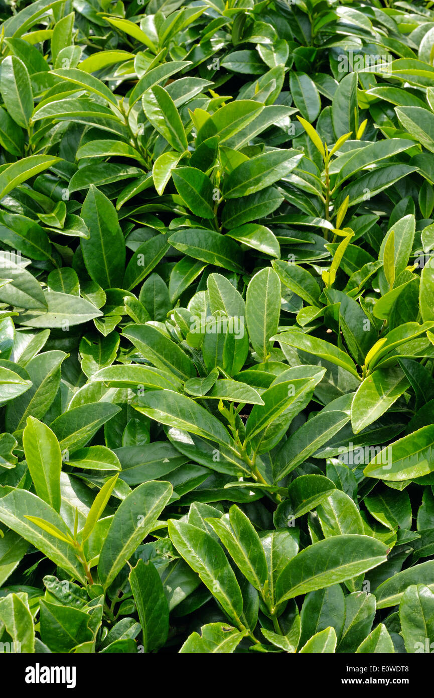 Prunus laurocerasus, evergreen shrub in the garden - Stock Image