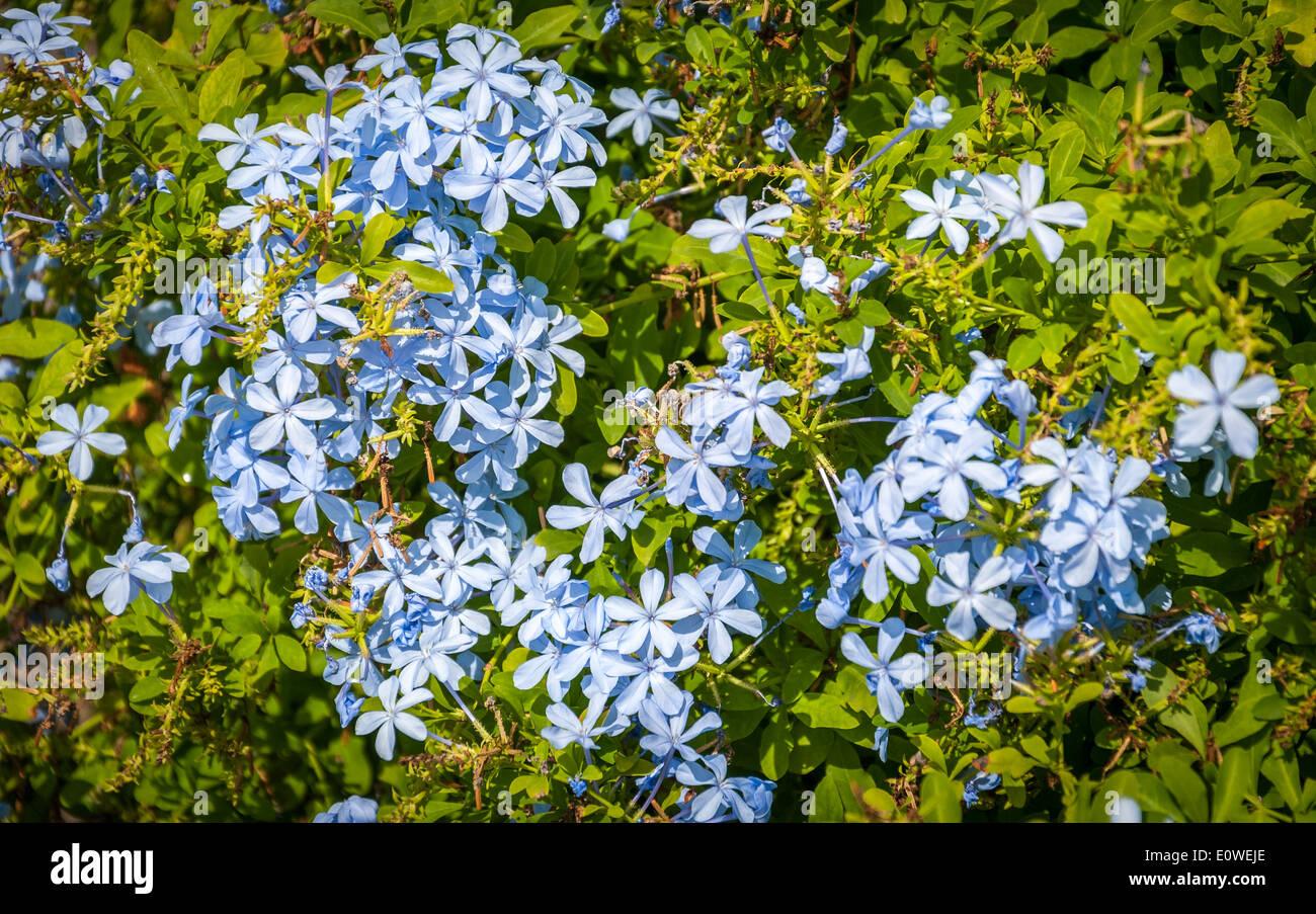 Small Green Bush Blue Flowers Stock Photos Small Green Bush Blue