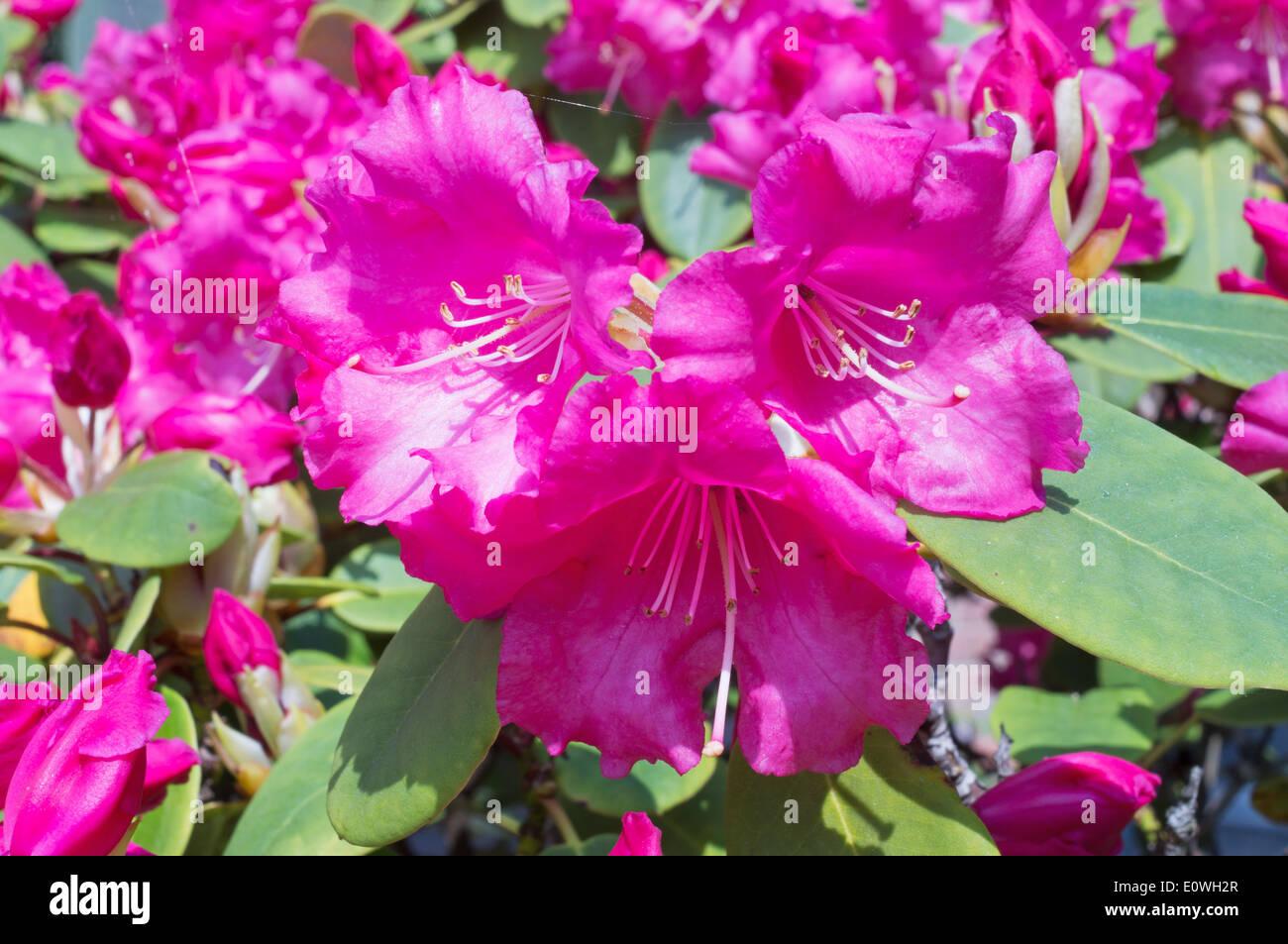 Flowers of rhododendron Linda ,  Britannia X williamsianum Stock Photo
