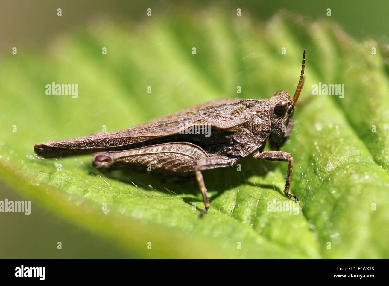 Slender Groundhopper male - Tetrix subulata - Stock Image