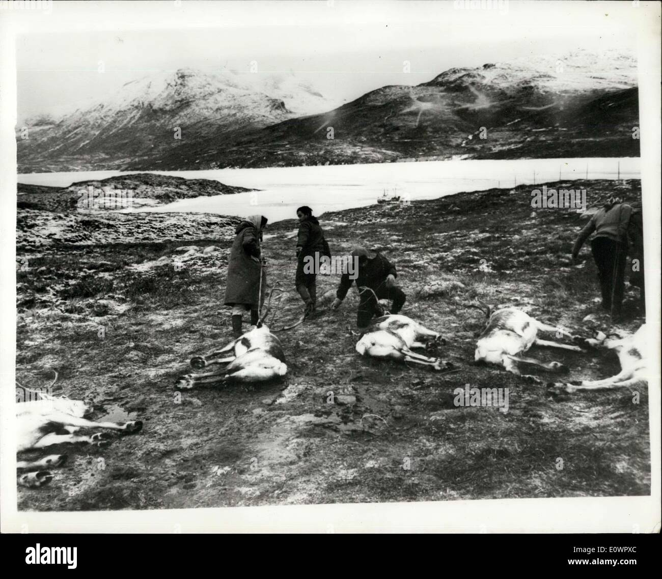 Jan. 16, 1964 - Reindeer Slaughtering In Greenland: For the past twelve years, a new ''industry'' gas been pioneered in Greenland, based on the import od Norweign reindeer, which are being successfully bred so that the herds now number several thousands animals which are being used for their meat. The young herdsmen which are being used for their meat - Stock Image