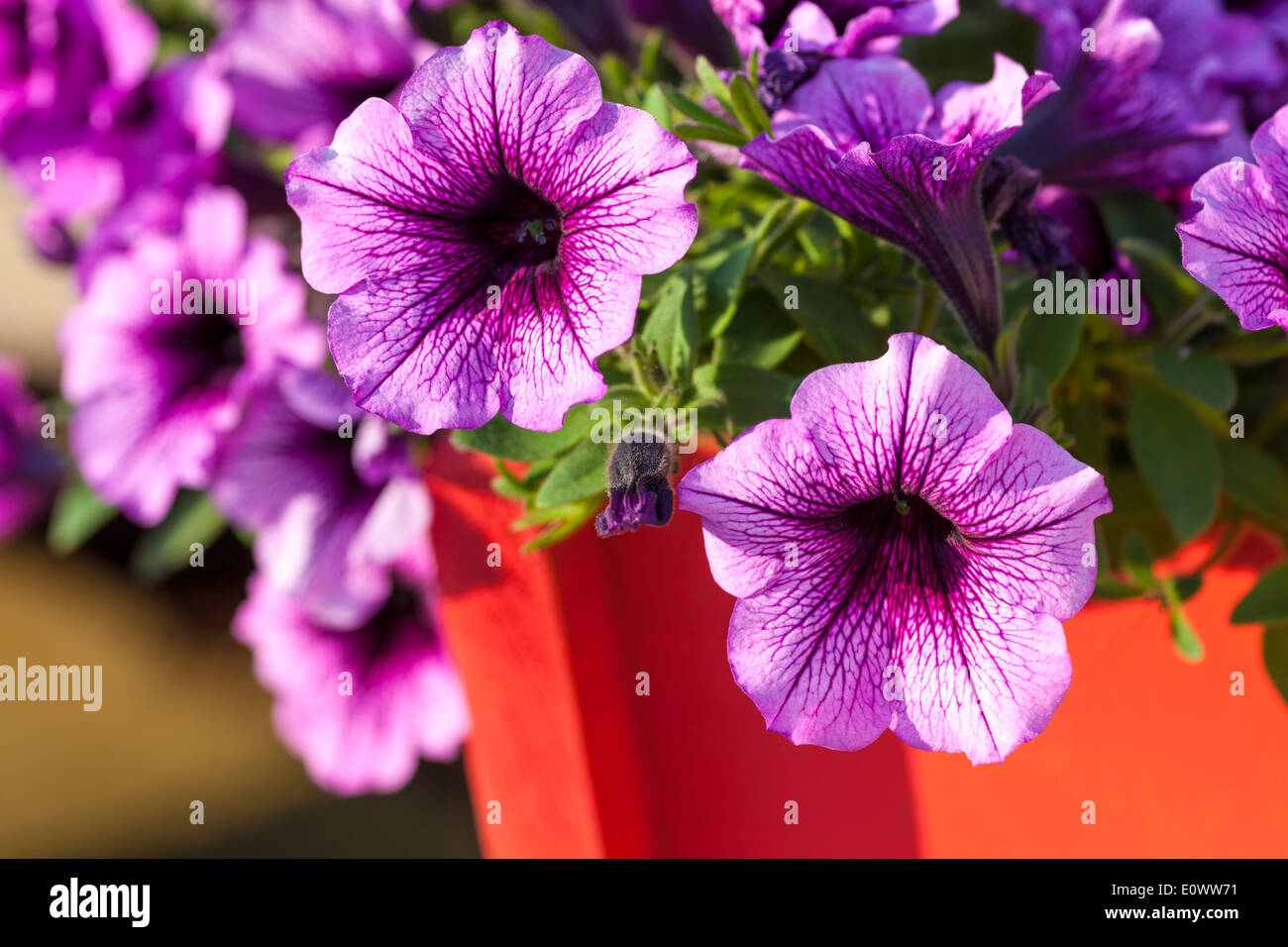 Colorful multiflora petunias in an orange wooden planter or window box. - Stock Image