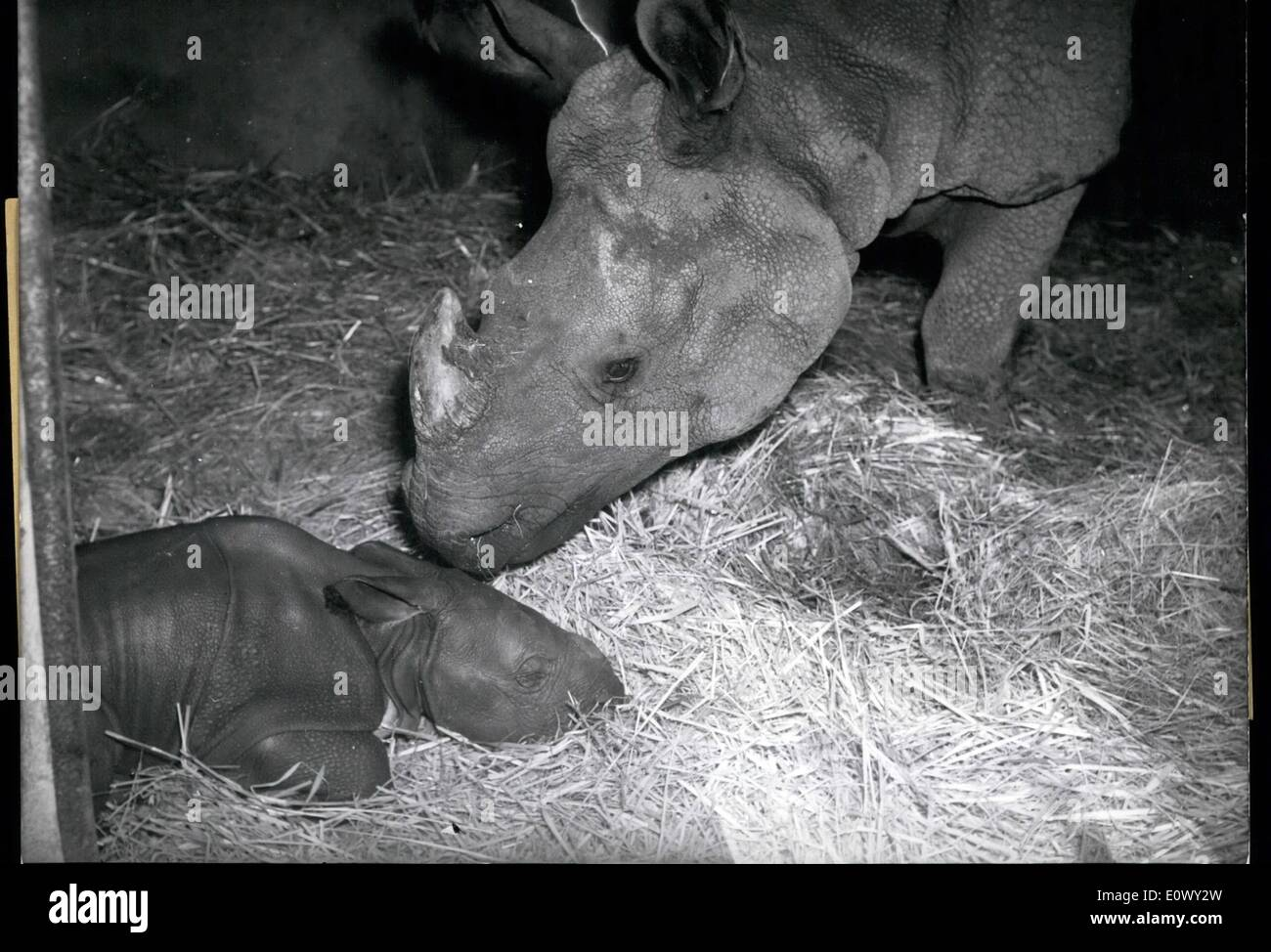 Aug. 08, 1964 - A birth weight of 50 kg had the little rinoceros which was born these days in the zoo of Hagenbeck at Hamburg, Germany. It happened for the first time that in a German zoo an Indian rinoceros was born. Zoo experts are already estimating the value of ''Gauhati'' (gahati), this is the name given to the baby rinoceris, of 70 000 DM. - Stock Image