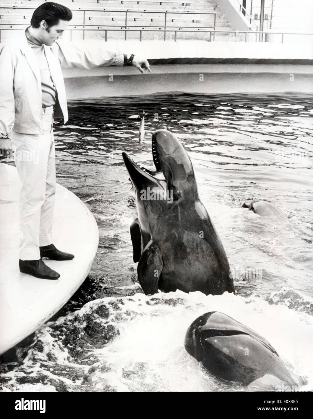 Elvis Presley feeding a whale at Maineland Aquarium - Stock Image