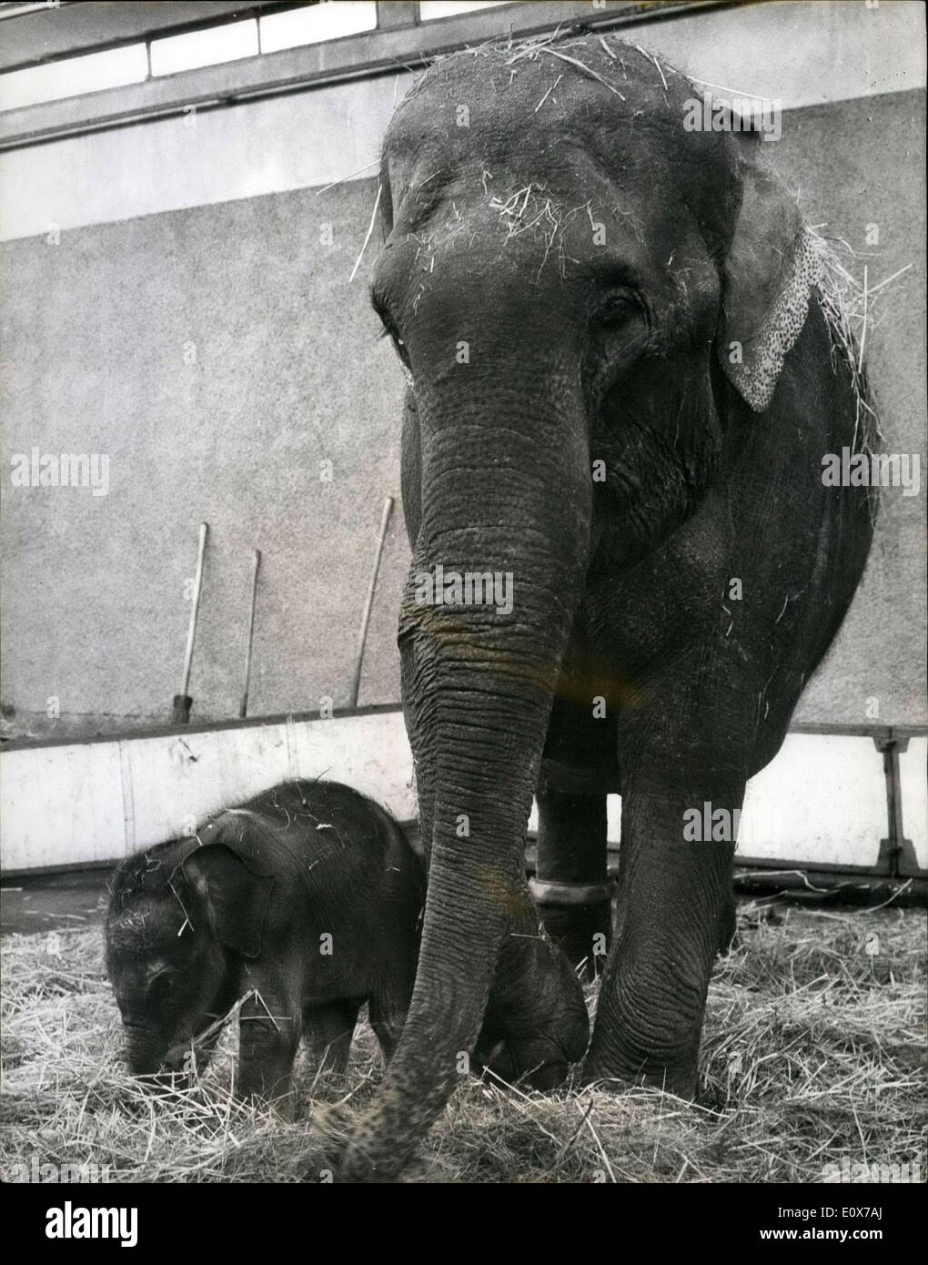 Aug. 16, 1965 - Baby elephant born in Switzerland: In our kind of latitude the birth of an elephant is a pretty - Stock Image