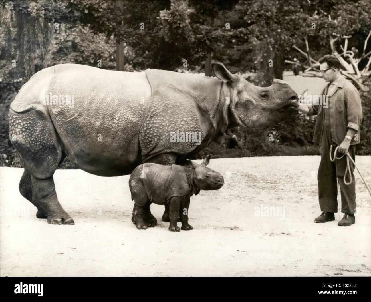 Aug. 08, 1965 - Rhino Baby at Basel Zoo: For the sixth time at the Basel Zoo a rhino was born. Mother Moola shown here leading her baby weighing 69 kilos at birth. It is believed that only some 400 species are new living complete freedom in Africa. - Stock Image