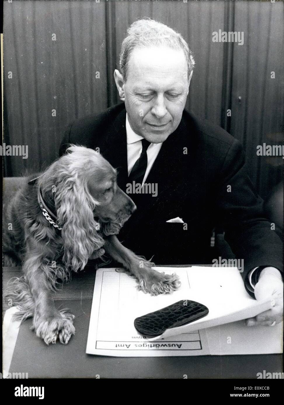 Apr. 04, 1966 - Cockerspaniel Pummy is trusted with diplomacy and accompanies his master, the leader of the Africa Unit, Graf Harald von Posadowsky-Wehner, to his office in Bonn every morning. Pummy has four years of diplomatic experience. He was in Lagos/Nigeria for thr - Stock Image
