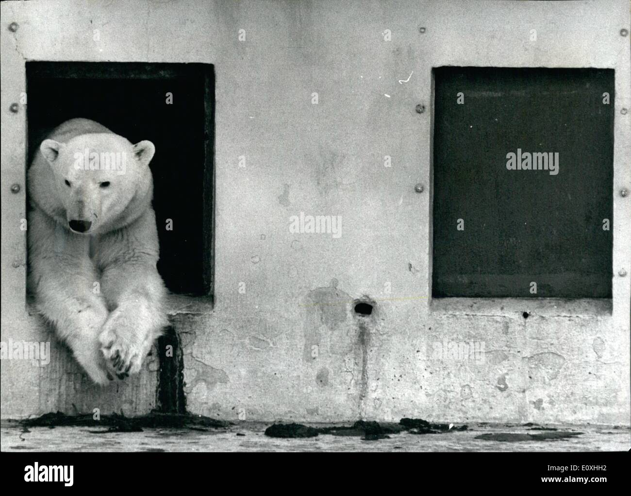 Jan. 01, 1967 - The waiting part is the worst. Every father - to be knows the feeling. The waiting part is the worst. In the case of Hans, a five-year-old polar bear at Dudley zoo, Worcestershire, the waiting cart has already lasted five months - since his wife, Helga, went into confinement. Zoo staff built a darkened maternity ward for her, out off from the outside world because polar bears prefer to give birth in private, No one least of all Hans, has been Helga since September, worse, on one,. least of all hams, whether Helga has given birth or not. It was understood she wanted to be alone - Stock Image