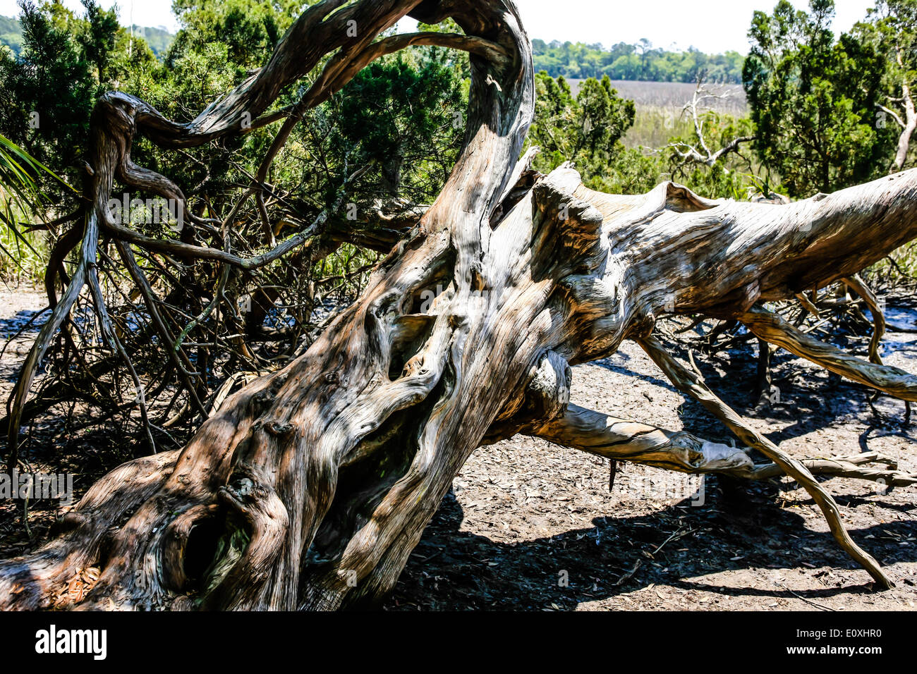 Dead dried out tree on the edge of the Salt Marsh nr Savannah GA - Stock Image