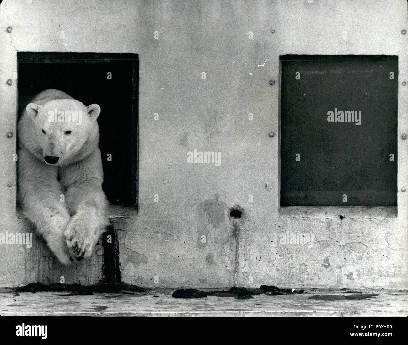Jan. 01, 1967 - The waiting parts is the worst : Every father-to-be knows the feeling. The waiting part is the worst. In the case of Hans, a five-year-old polar bear at Dudley Zoo, Worcestershire, the waiting cart has already lasted five months - since his wife, Helga, went into confinement. Zoo staff built a darkened maternity ward for her, cut off from the outside world because polar bears prefer to give birth in private. No one, least of all Hans, has seen Helga since September, worse, no one, least of all Hans, whether Helga has given birth or not. It was understood she wanted to be alone - Stock Image