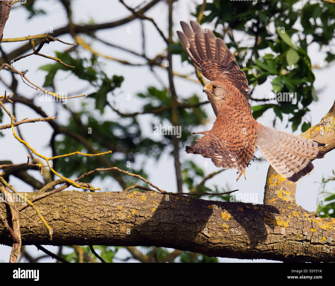 Wild female Kestrel, Falco tinnunculus in flight - Stock Image
