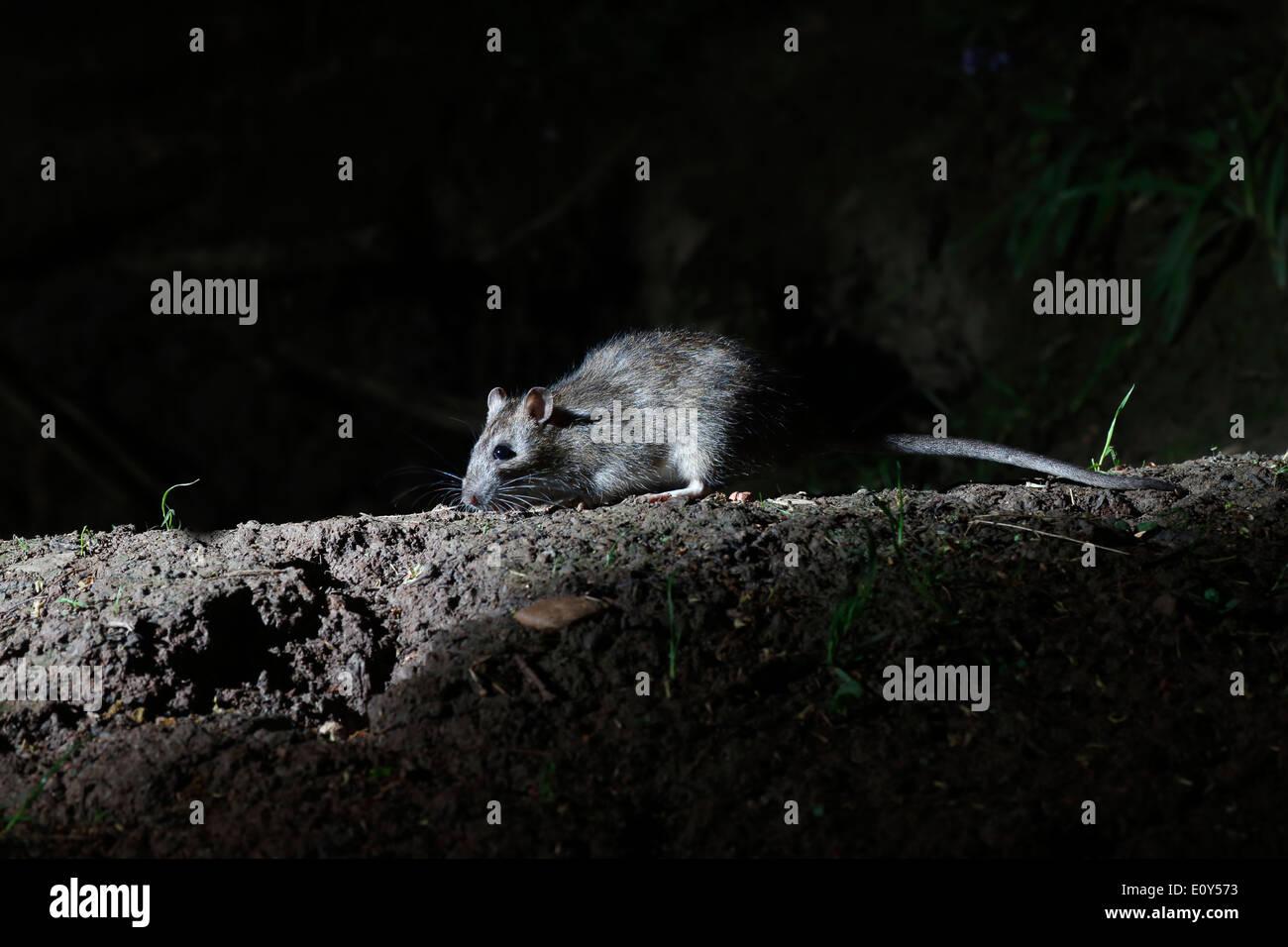 Brown rat, Rattus norvegicus, single mammal on ground, Warwickshire, May 2014 - Stock Image
