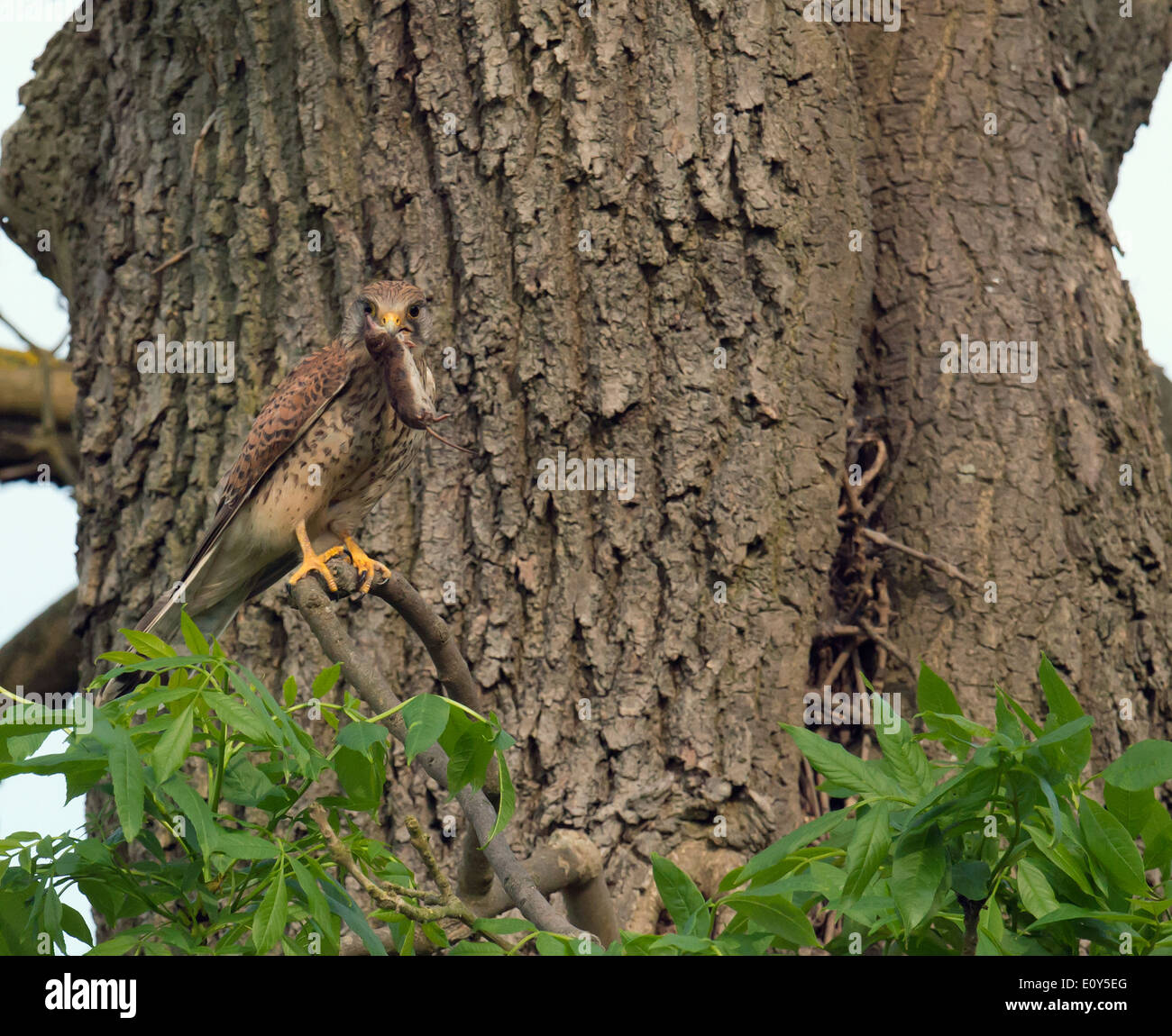 Wild female Kestrel, Falco tinnunculus perched with vole - Stock Image