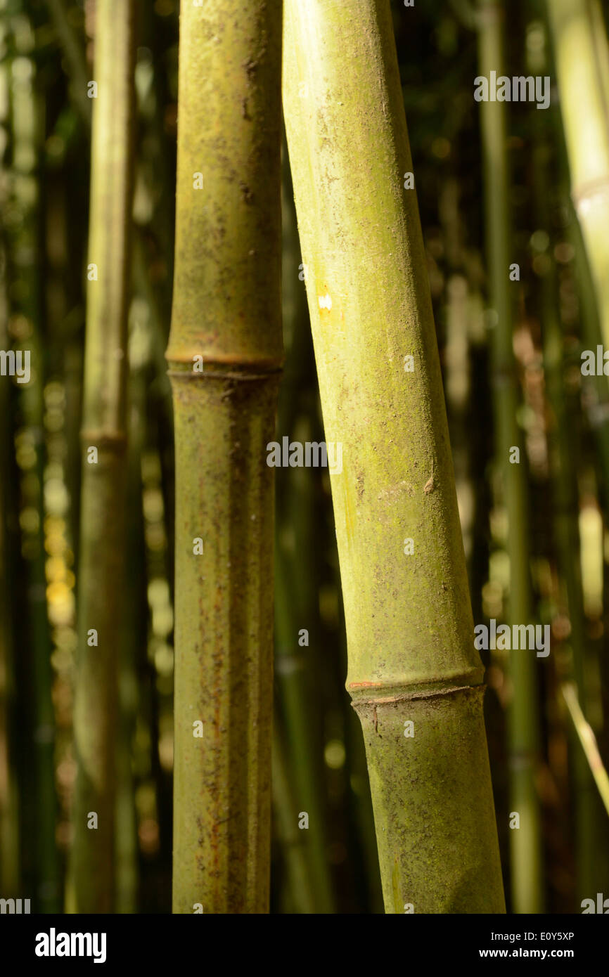 Bamboo canes on a Bamboo plant outdoors - Stock Image