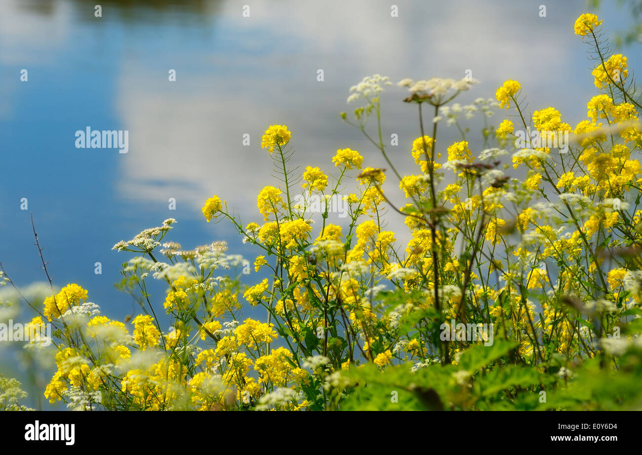 Wild Yellow Flowers In The British Countryside England Uk Stock
