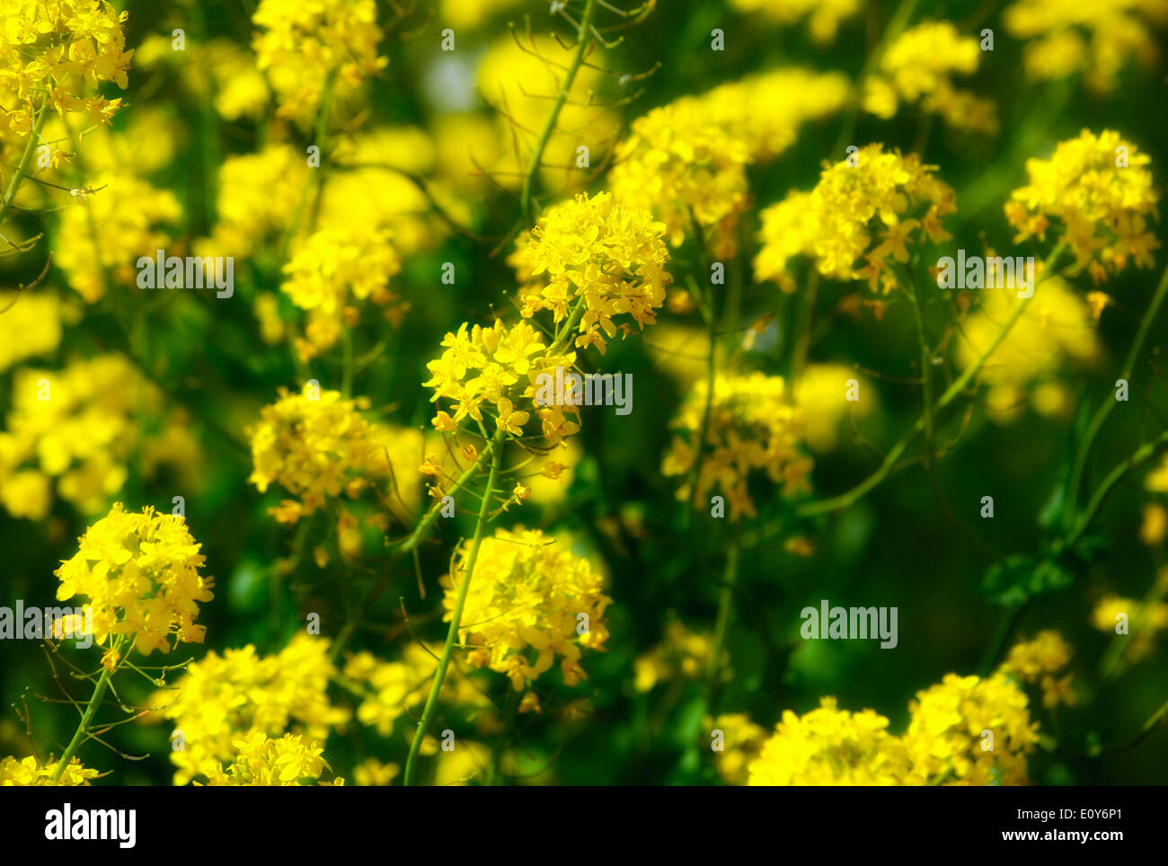 Wild Yellow Flowers Stock Photos Wild Yellow Flowers Stock Images