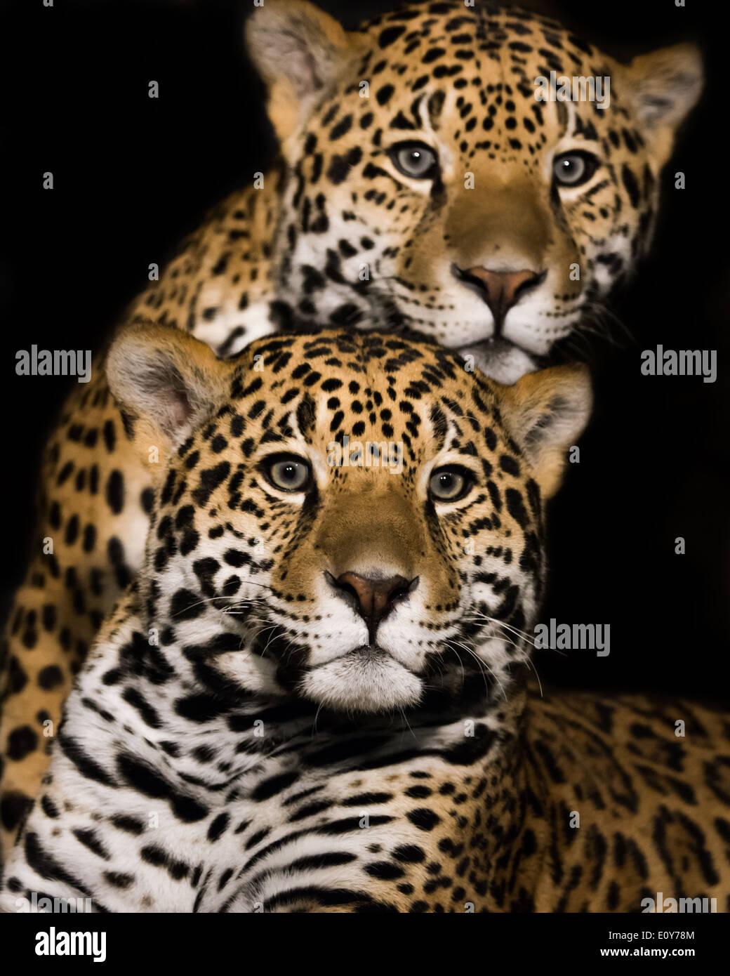 Frontal Portrait of a Jaguar Pair - Stock Image