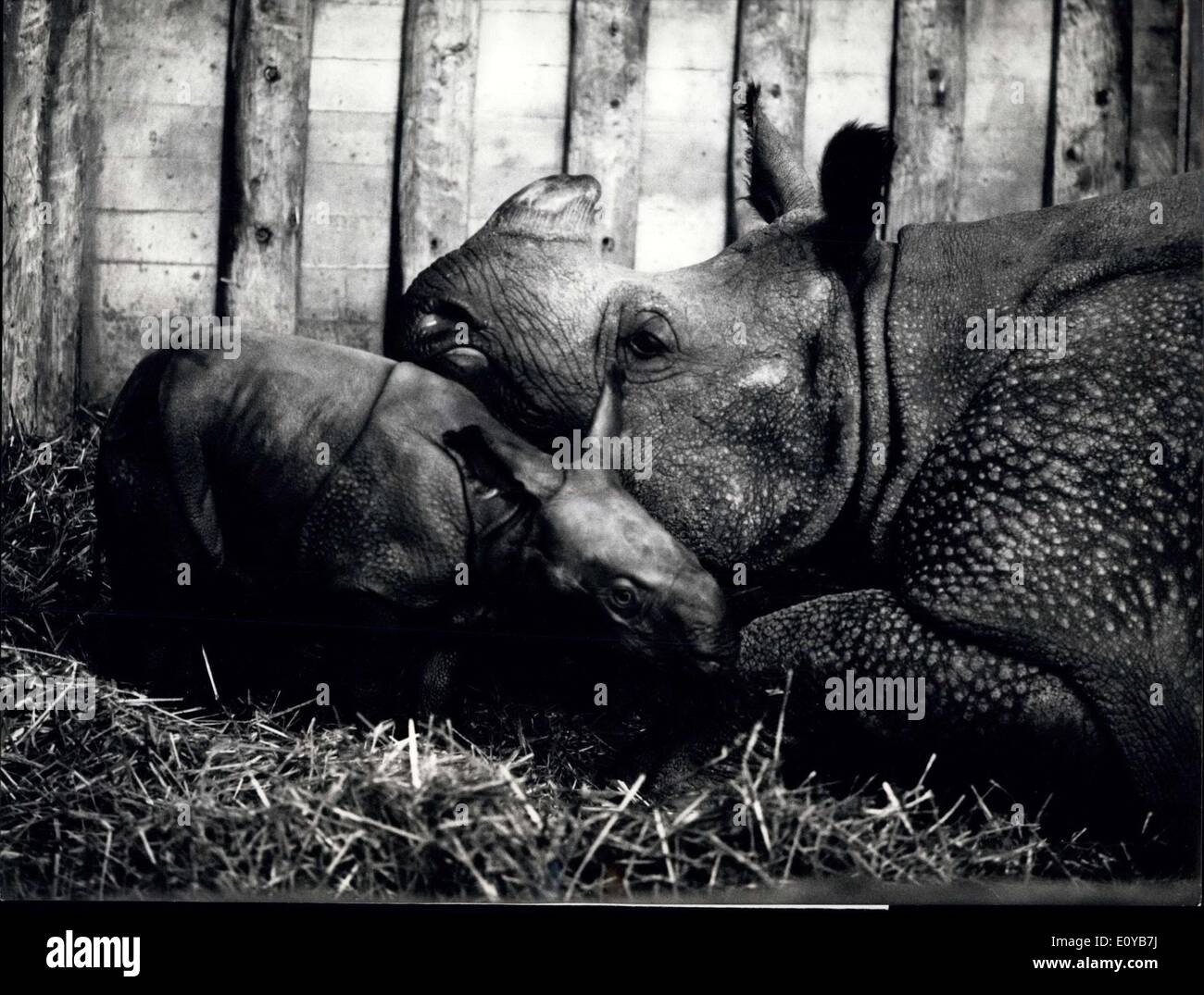 Oct. 10, 1969 - Breeding exploit in the Basle Zoo: An absolutely extraordinary breeding success in the zoological garden of Basle: The tenth armoured rhinocerus is born in this swiss captivity. The mother, ''Moola'' was 1,700 kg when she gave birth to the 76 kg baby on the 5th October.. This world famous breed gives its young rhinocerus to the zoo all over the world. Mother ''Moola'' with the only a few hours old female baby. - Stock Image