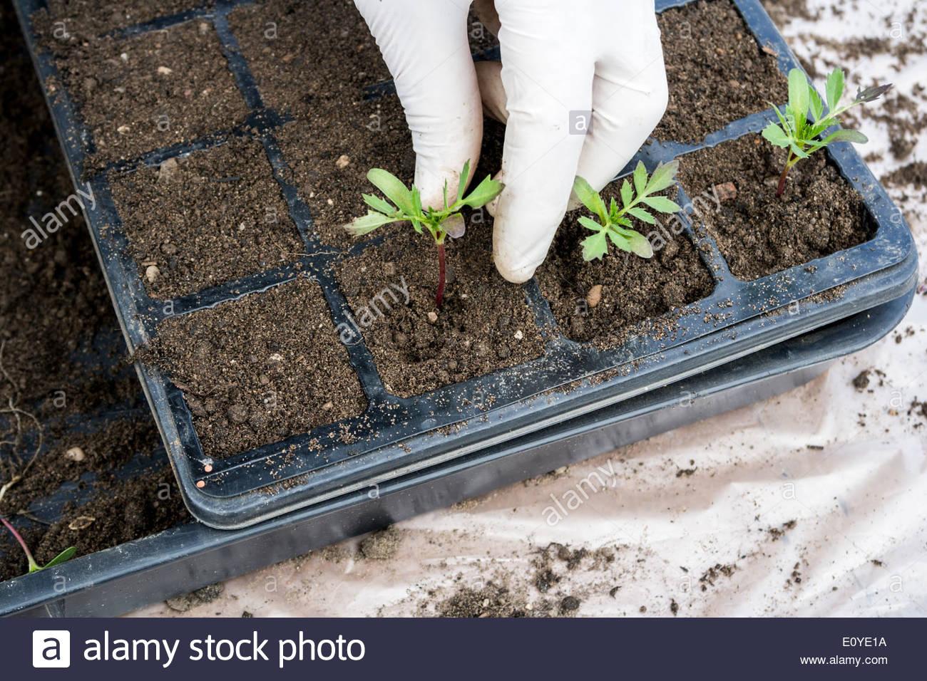 Gardener Transplanting Marigold Seedlings Stock Photo 69445190