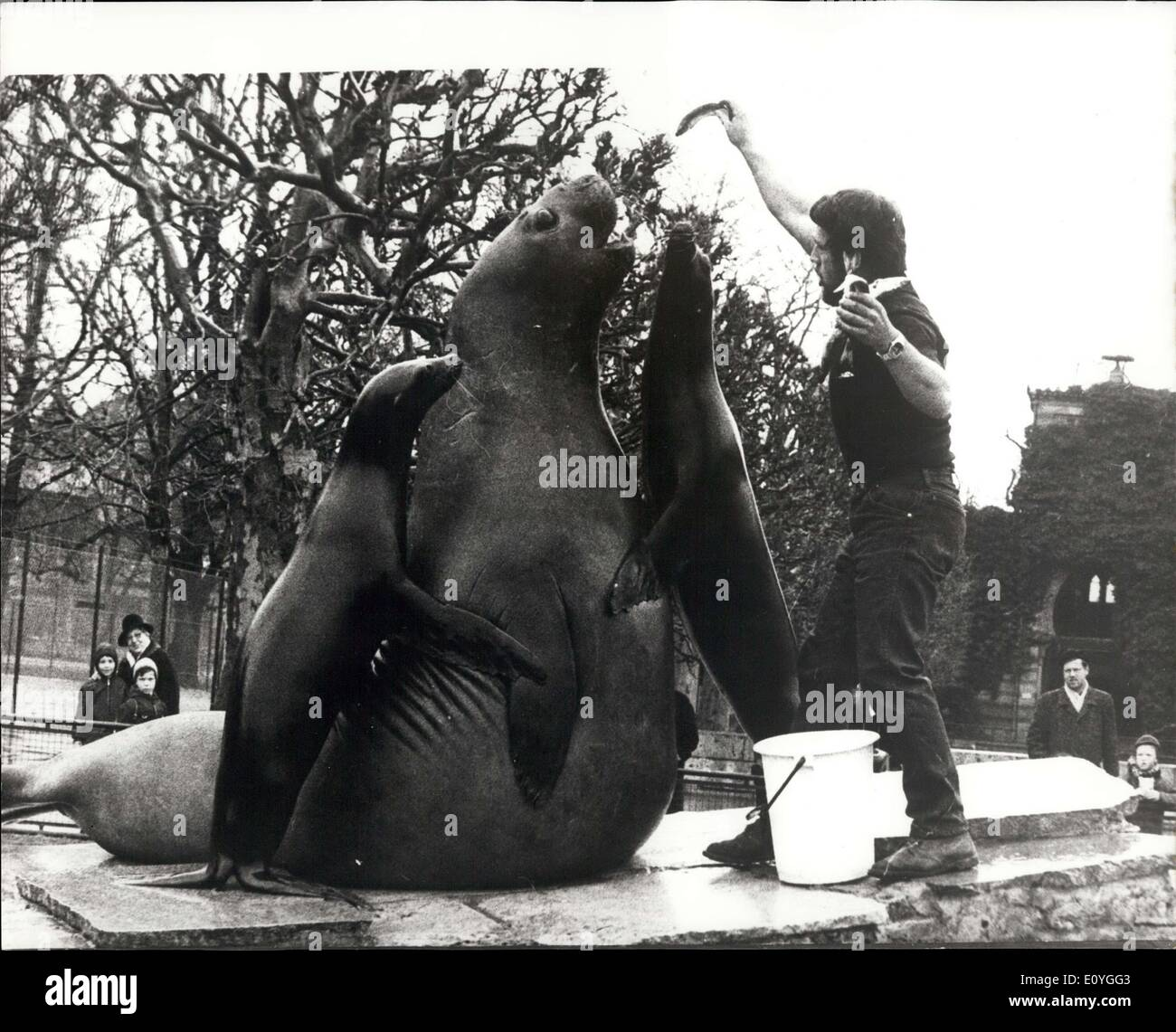 Apr. 13, 1970 - Feeding time tableau: Samy, the sea elephant and two sealions make this statue like tableau, during feeding time at the Stuttgart Zoo ''Wilhelma' - Stock Image