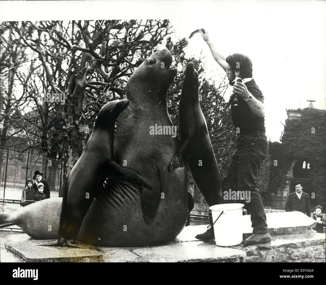 Apr. 13, 1970 - Feeding Time Tableau: Samy, the sea elephant and two sealions make this statue - like tableau, during feeding time at the Stuttgart zoo ''Wilhelma' - Stock Image