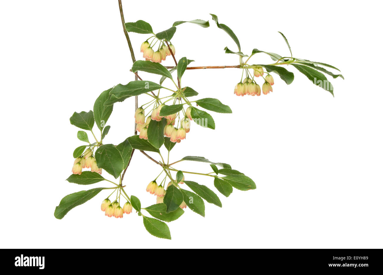 Small Bell Shaped Creamy White Flowers And Foliage Of An Enkianthus