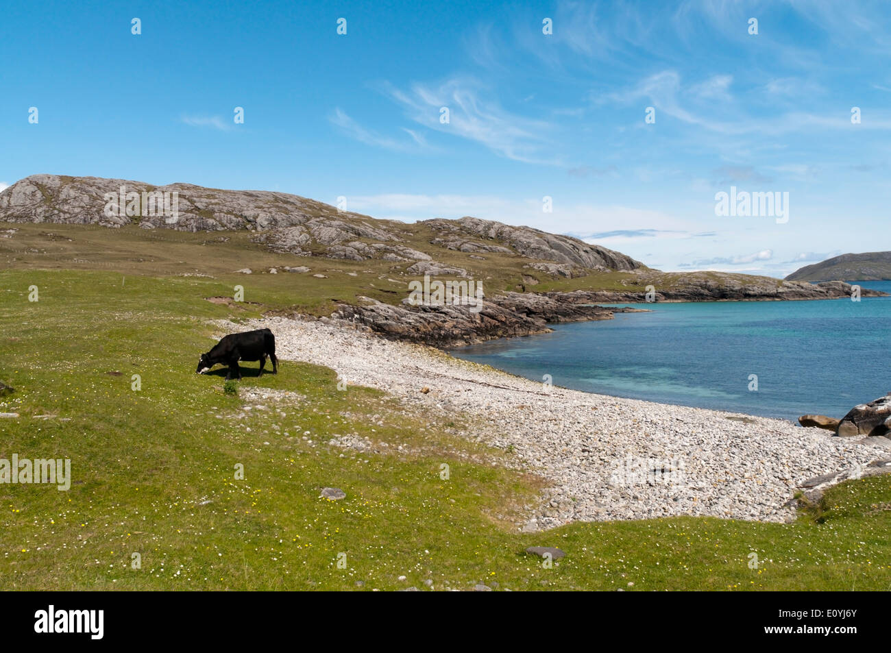 Cow grazing on machair behind a small beach on the island of Vatersay in the Outer Hebrides. Stock Photo