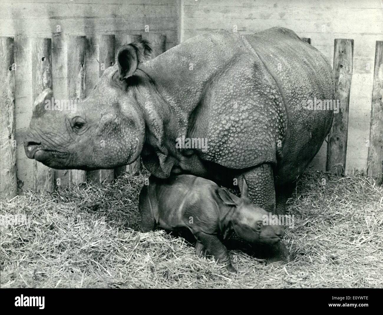 Aug. 08, 1971 - Happy event in the rhino enclosure in the Basle zoo.: Mother Moola, a lady rhino living in special quarters in the Basle Zoo, proudly presents her offspring a girl rhino born at 22.18 hours last Wednesday. Mother Molla has been born in Basle too (in 1958, to be precise). The baby rhino has not yet got a name. Its the eleventh baby rhinoceros born in Basle Zoo. - Stock Image