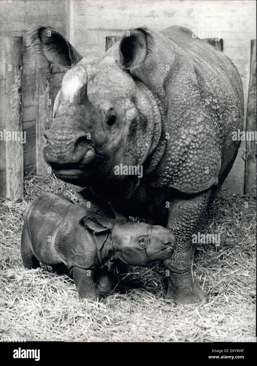 Aug. 13, 1971 - Happy event in the rhino enclosure in the Baslo Zoo: Mother Moola, a lady rhino living in special quators in the Basle Zoo, proudly presents her offspring - a girl rhino born at 22.18 hours lats Wednesday. Mother Molla has been born in Basle too (in 1958, to be precise). The baby rhino has not yot got a name. Its the eleventh baby rhinoceros born in Baslo Zoo. - Stock Image