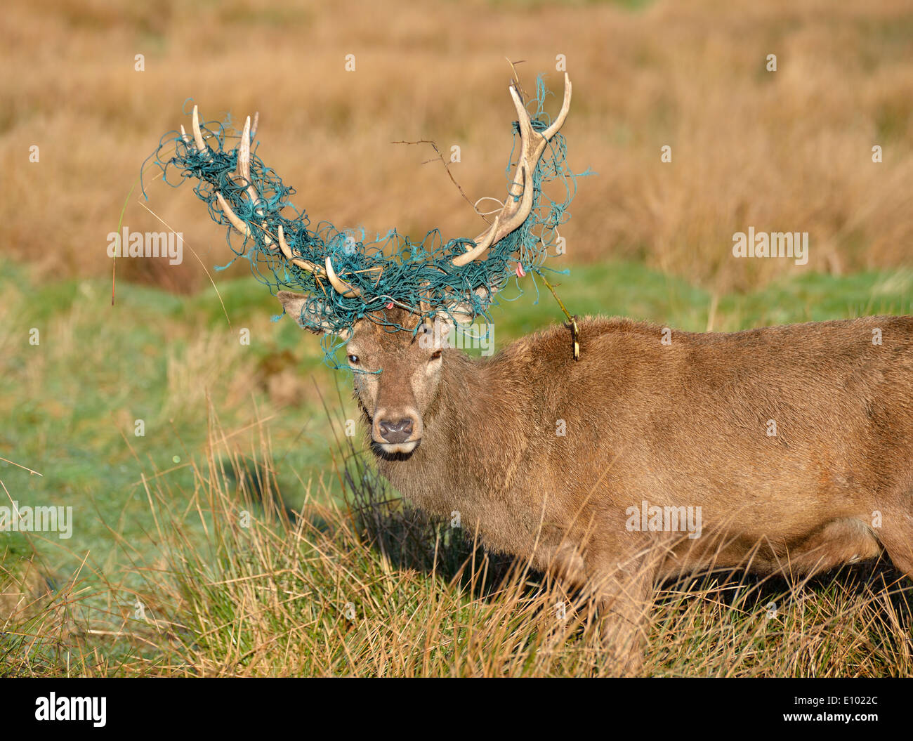 Red deer stag with fishing net in its horns, Bushy Park, London, UK - Stock Image