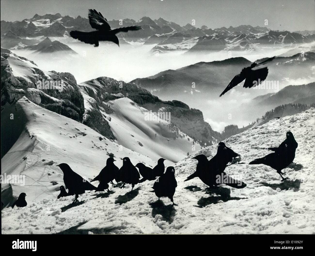 Mar. 03, 1970 - Summit conference on the Mount Pilatus. Some black jack daws hold a summit conference lately on the Mount Pilatus ii the Swiss alps in order to discus on the late coming spring. - Stock Image