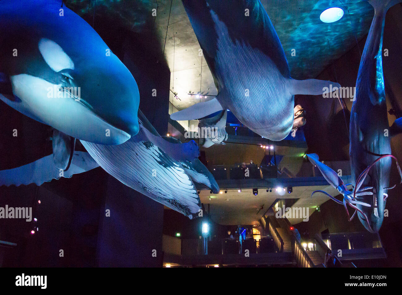 whales in Ozeaneum in Stralsund - Stock Image
