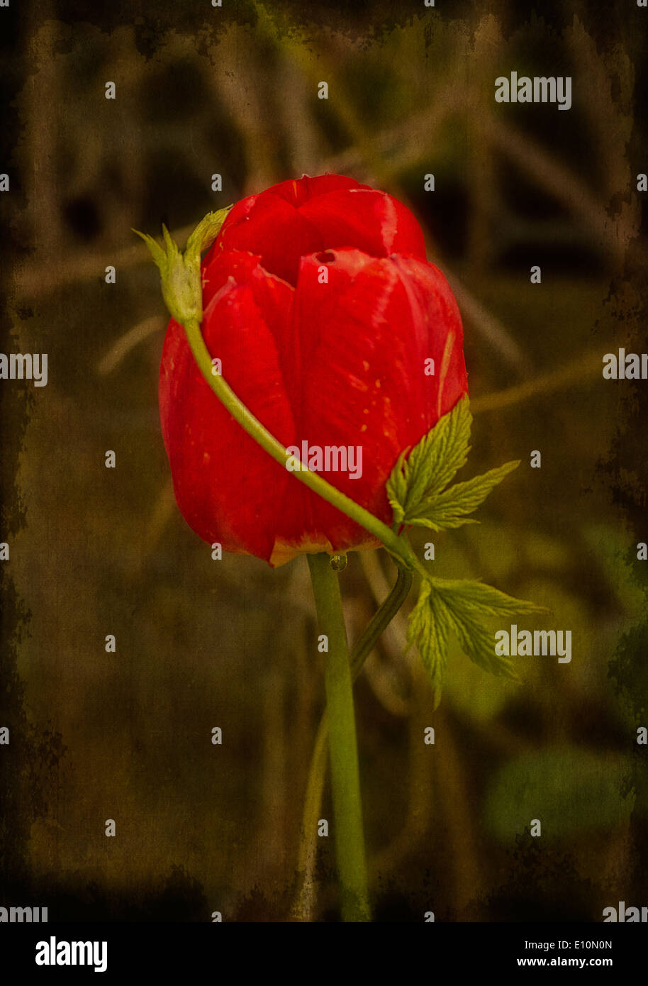 A stem of Golden Hop twining round a red tulip. - Stock Image