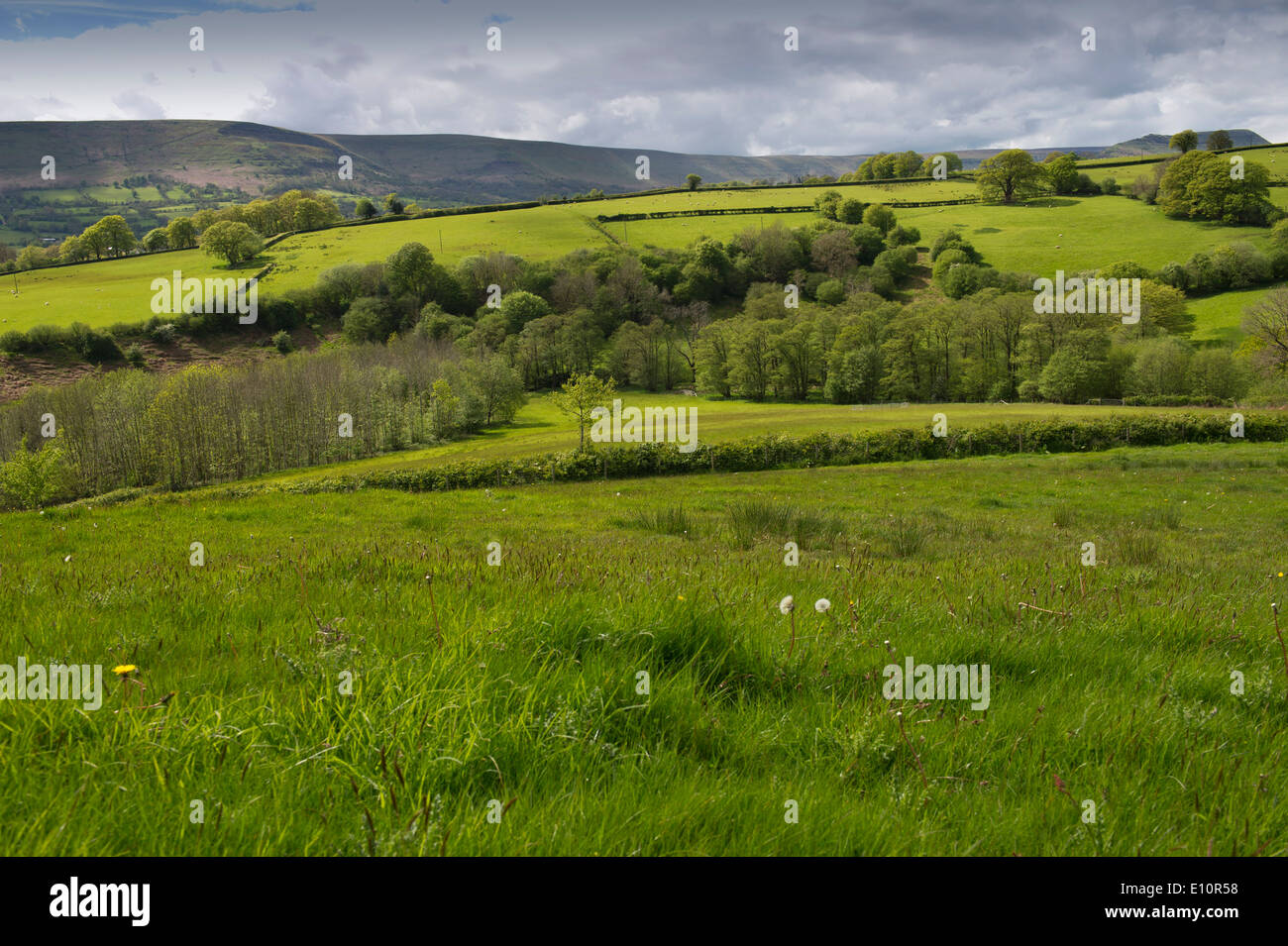 Farmer John Lewis-Stempel has written a book about meadows and is seen in a Herefordshire field surrounded by buttercups.a Stock Photo
