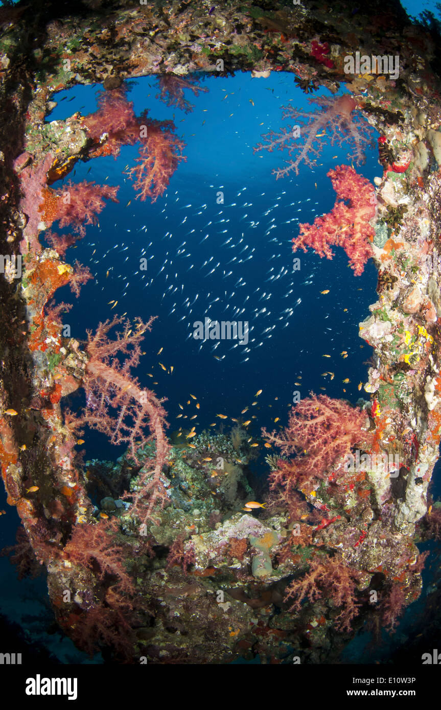 An old wreck window covered by soft corals, Egypt - Stock Image