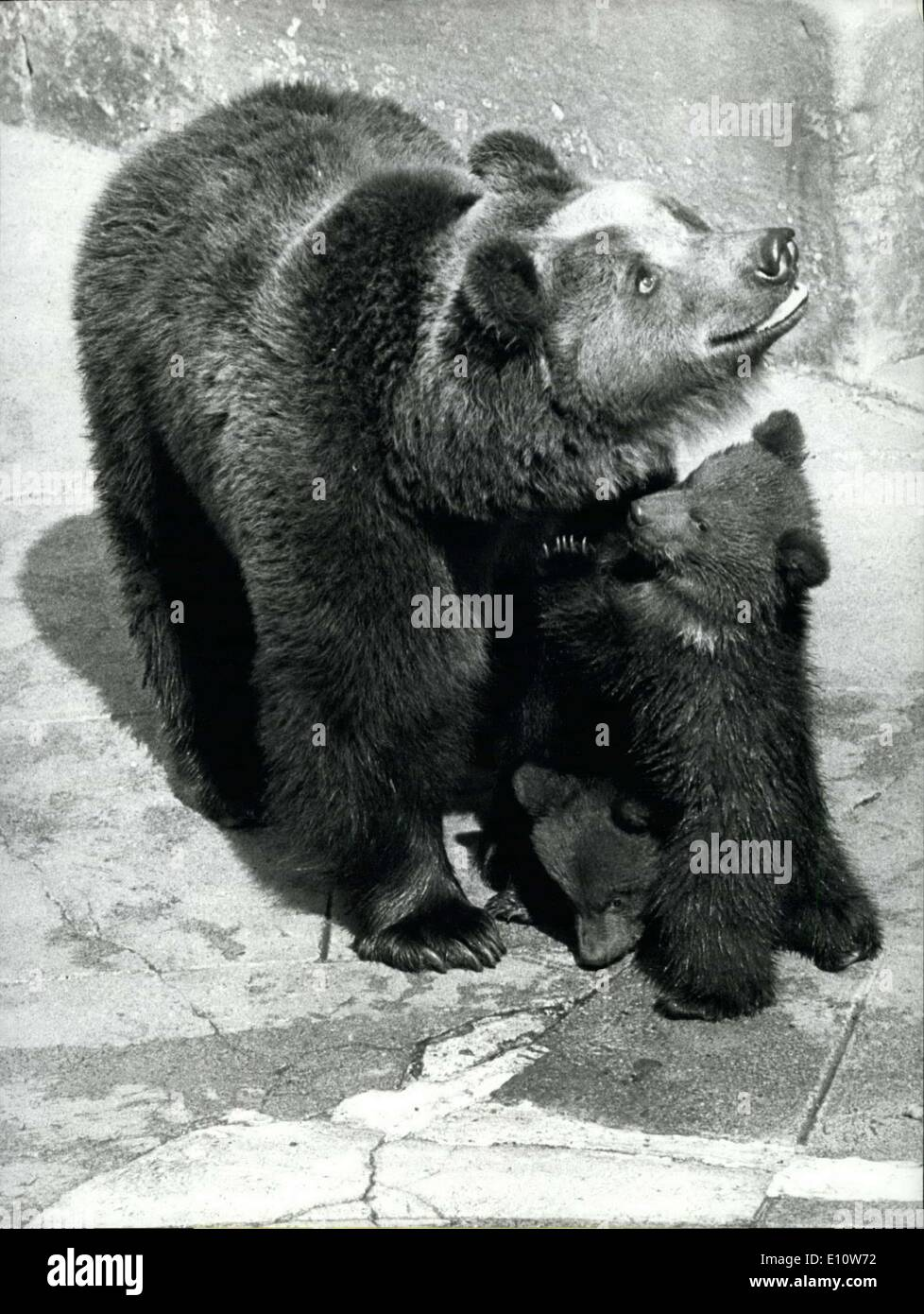 Apr. 08, 1974 - Little Brown Bears On Their First Open Air Performances: The Bear is the Heraldic animal of Swiss capital Berne. And Berne also has a well known bear- ditch. In this ''Beren '' garden now four youngsters made made their first appearance in public: mother Ursula with her two kids and mother Marina with the other two chaming chaps. - Stock Image