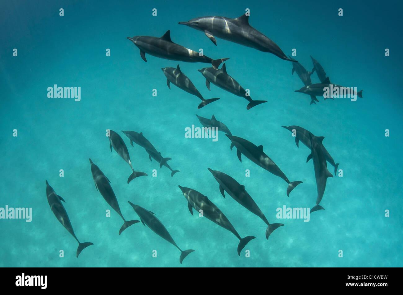 A school of common dolphins, Egypt (Delphinus delphis) - Stock Image