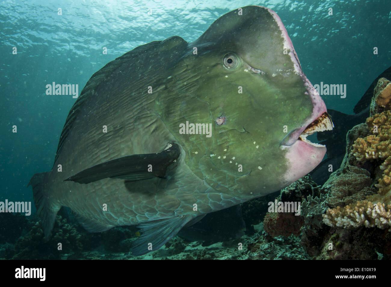 Humphead parrotfish, Malaysia Sipdan island (Bolbometopon muricatum) Stock Photo