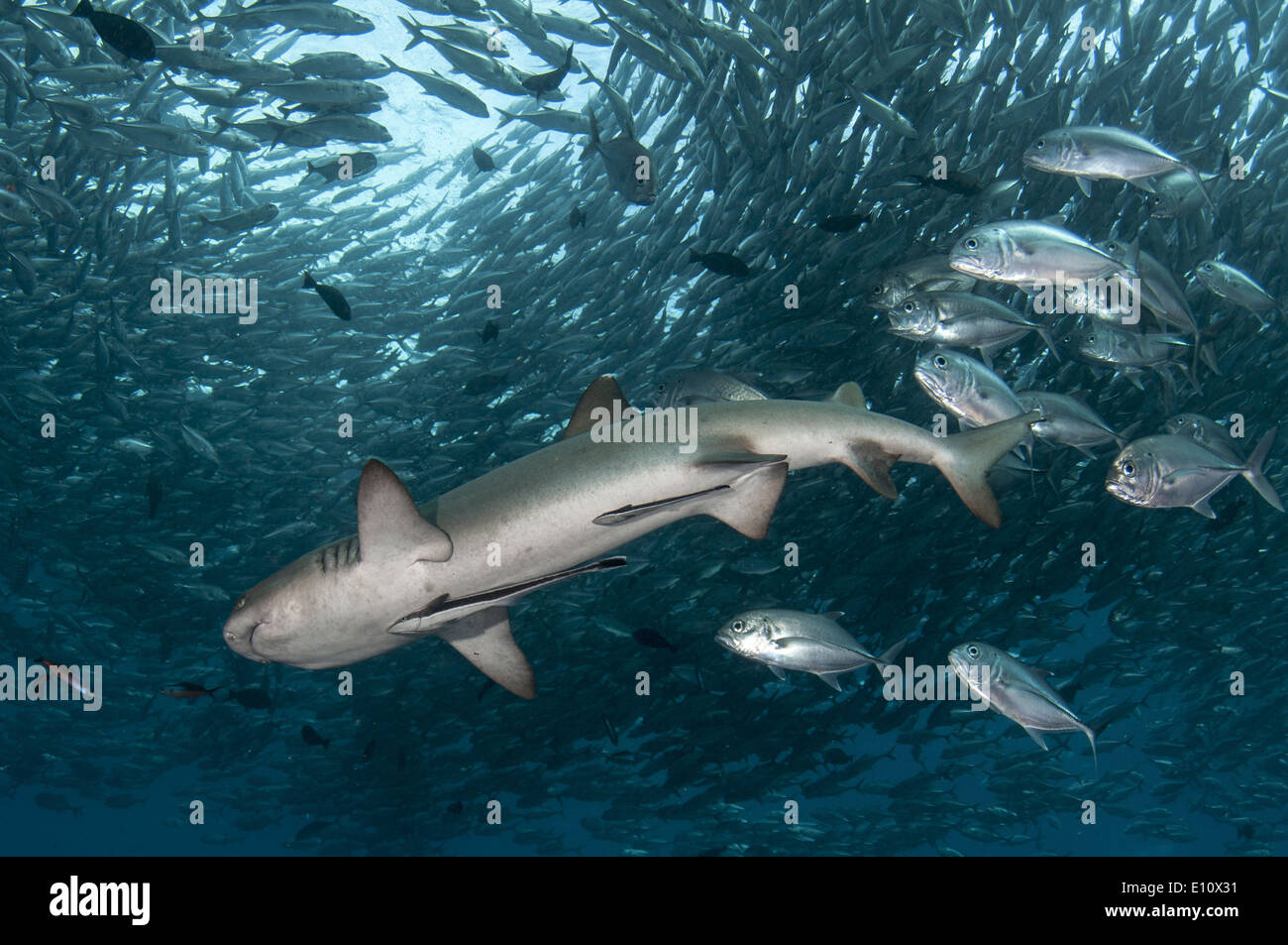 Whitetip reef shark surrounded by Big-eye Trevally (Triaenodon obesus), (Caranx sexfasciatus) - Stock Image