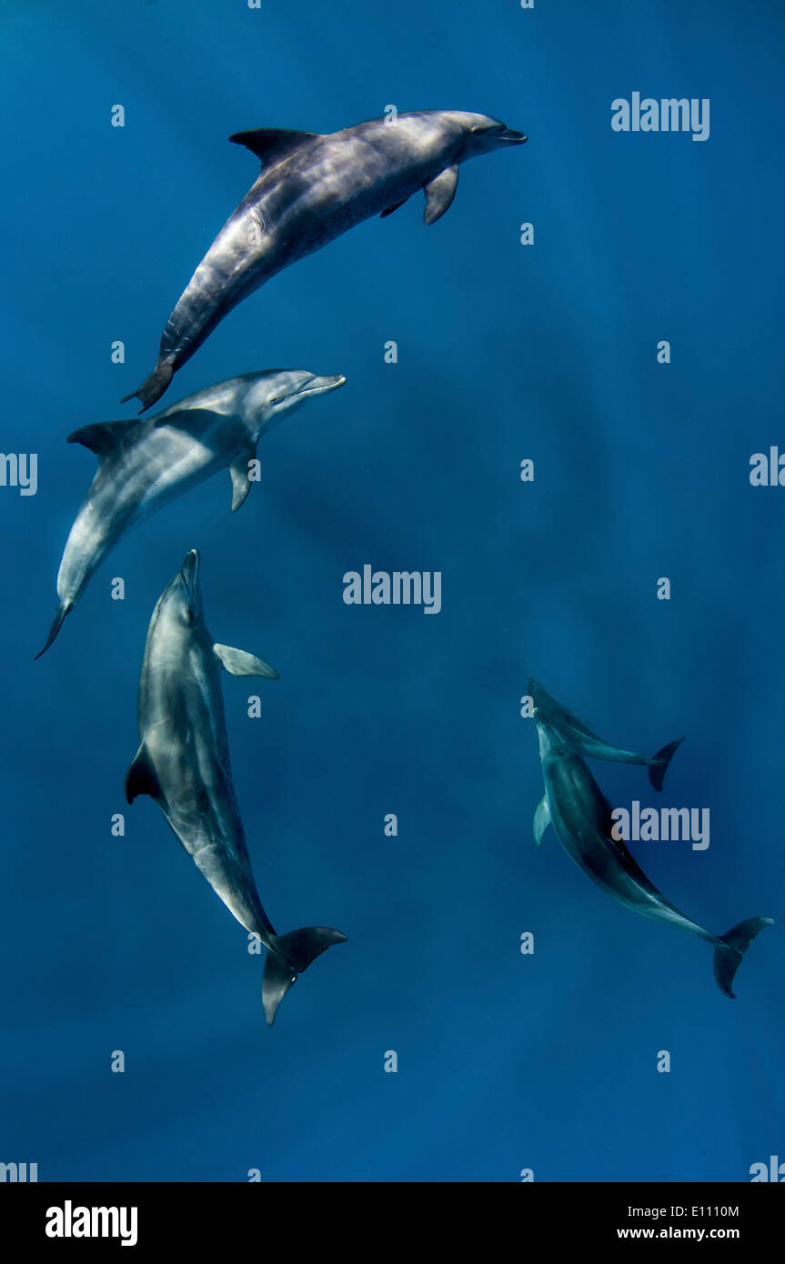Bottlenose dolphins near the surface, Egypt (Tursiops truncatus) - Stock Image
