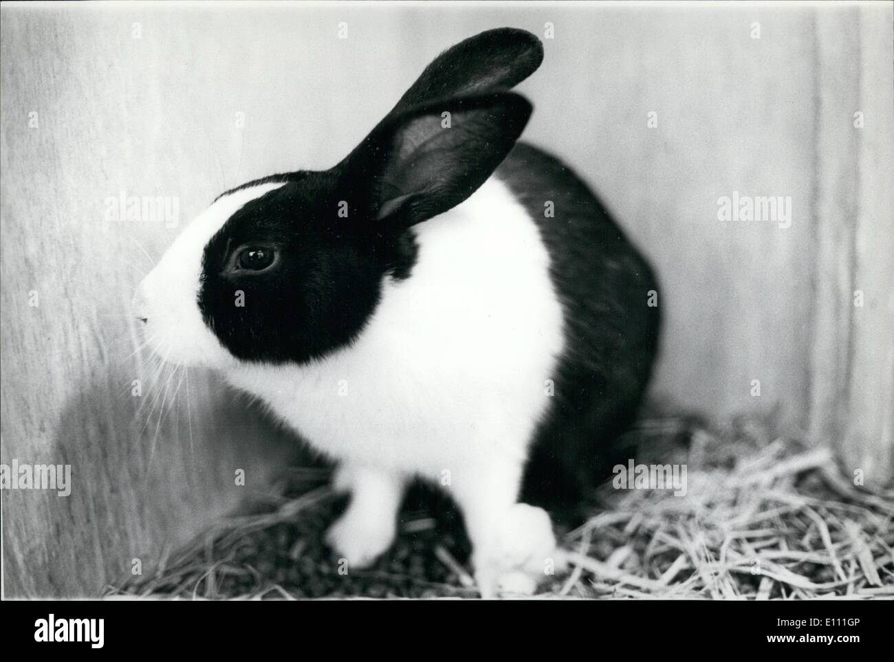 Jan. 01, 1975 - ''Panda'' Rabbit Produced In Japan.: After experimenting with six different cross-breedings, Mr. Shigeo Yoda, a - Stock Image