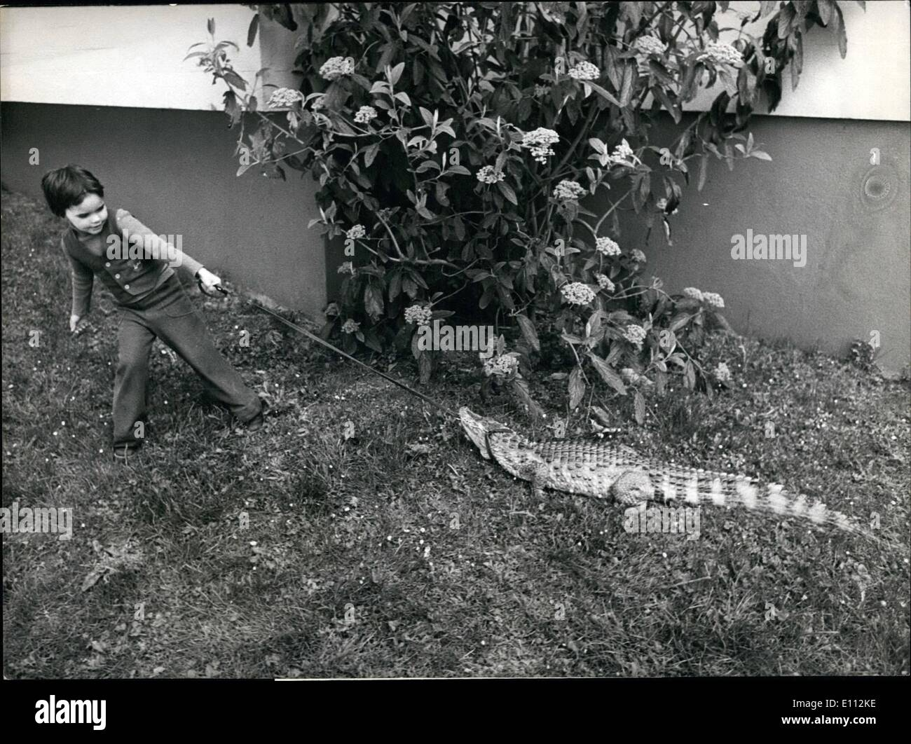 May 05, 1975 - A crocodile at home: A 35-kilogram-crocodile is hold at home by this woman. The animal is named ''Wotan'' and goes for a walk with the girl of the house if it does. - Stock Image