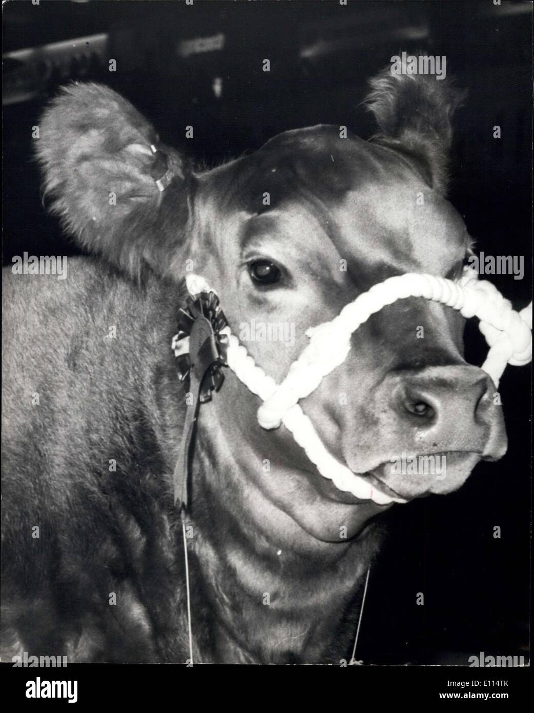 Dec. 02, 1975 - ''Lulu'' Is The Supreme Champion of The Royal Smithfield Show At London's Earls - Stock Image