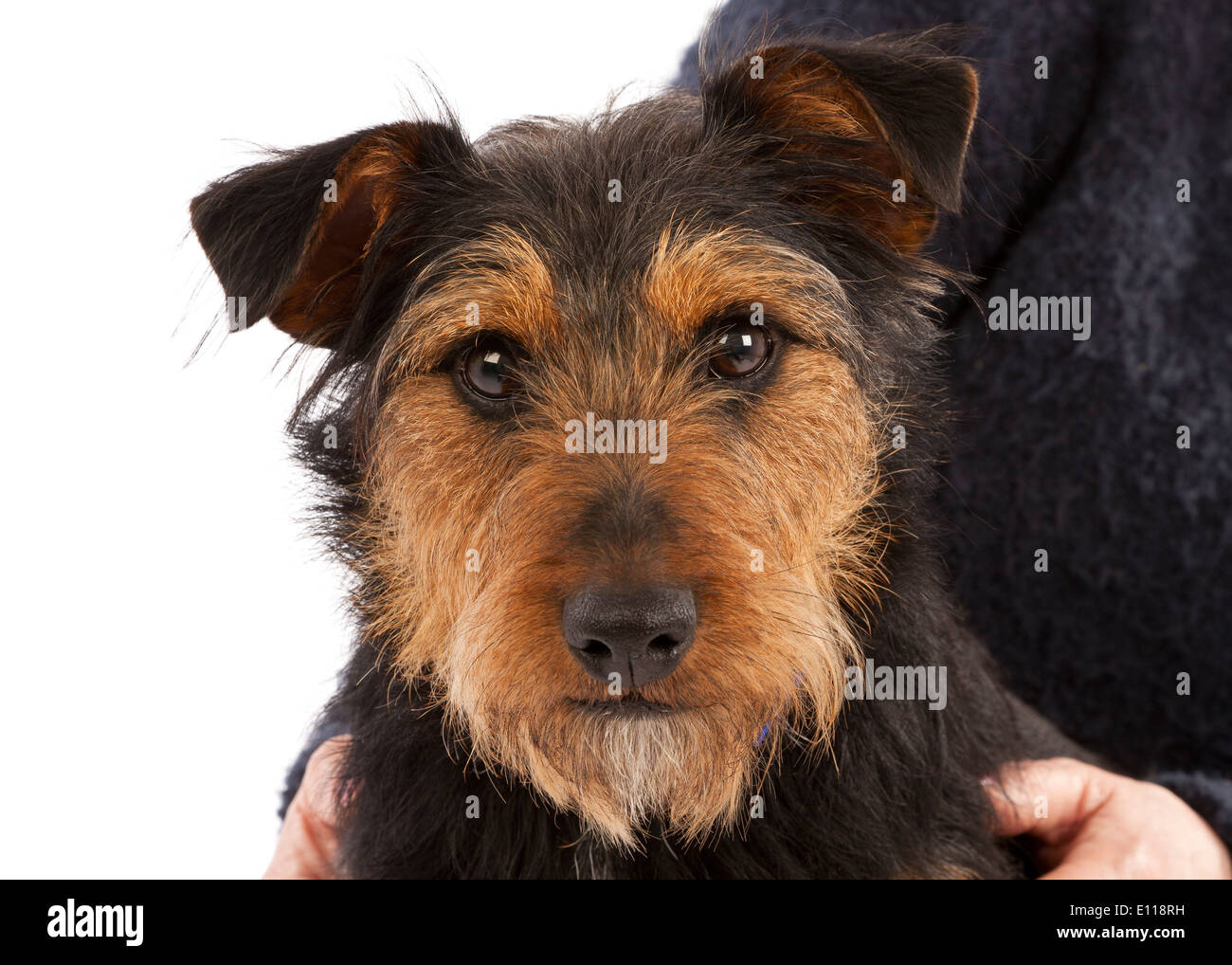 Portrait of a young black and tan Terrier dog - Stock Image