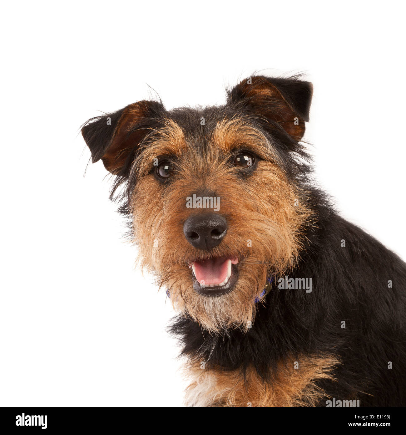 Portrait of a young black and tan Terrier dog Stock Photo