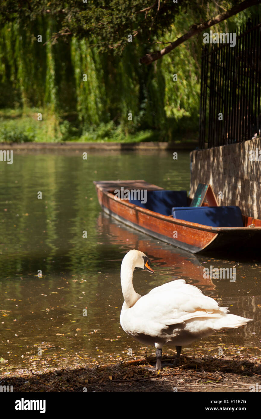 A swan on the banks of the river Cam in spring, Cambridge UK - Stock Image