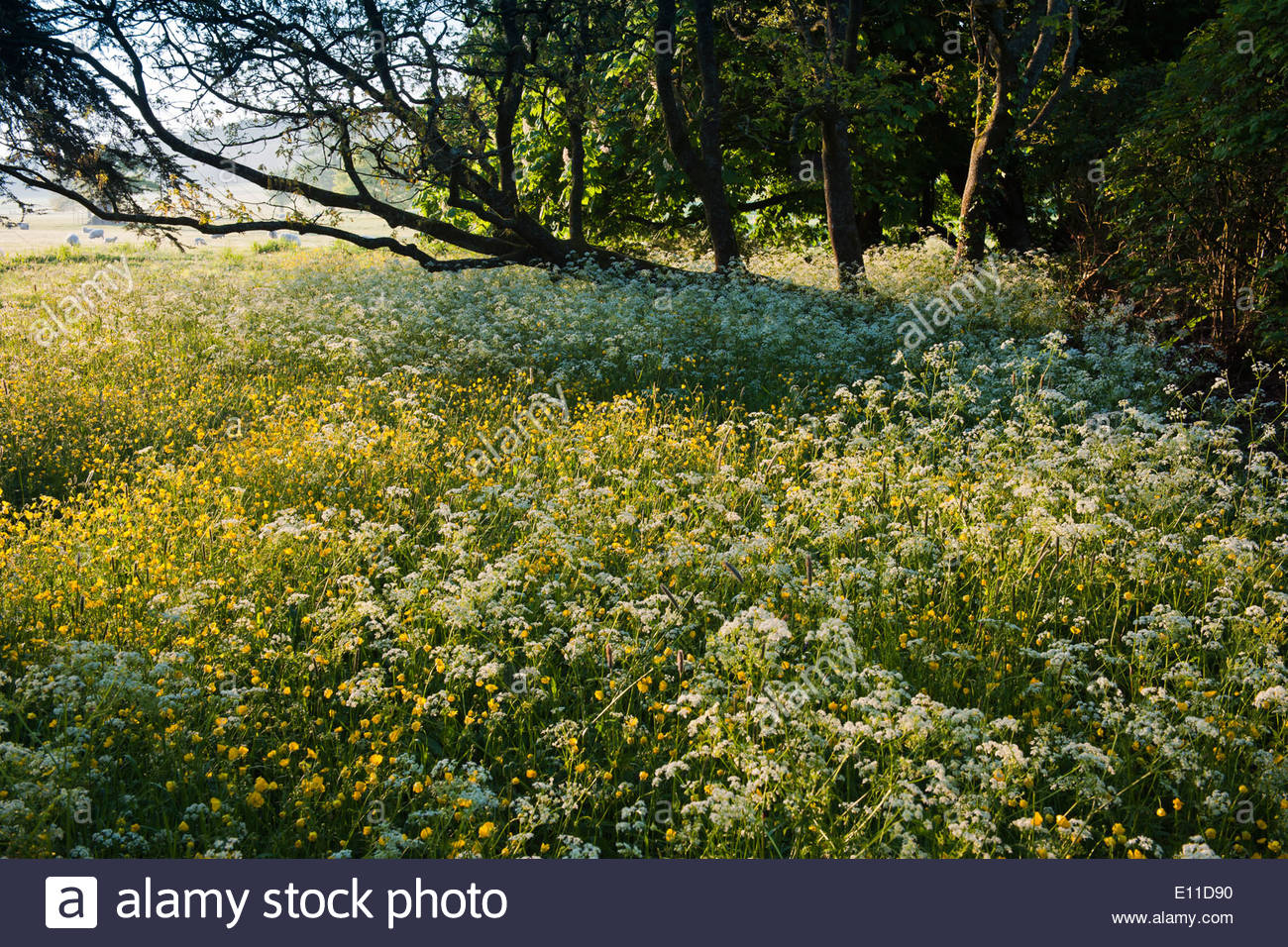 wildflower areas borders Cow Parsley Anthriscus sylvestris Creeping Buttercups Ranunculus repens early summer flowers - Stock Image