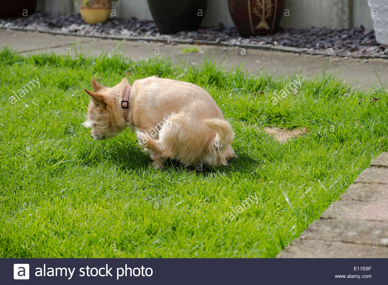 A Chihuahua Norfolk terrier cross having a pee