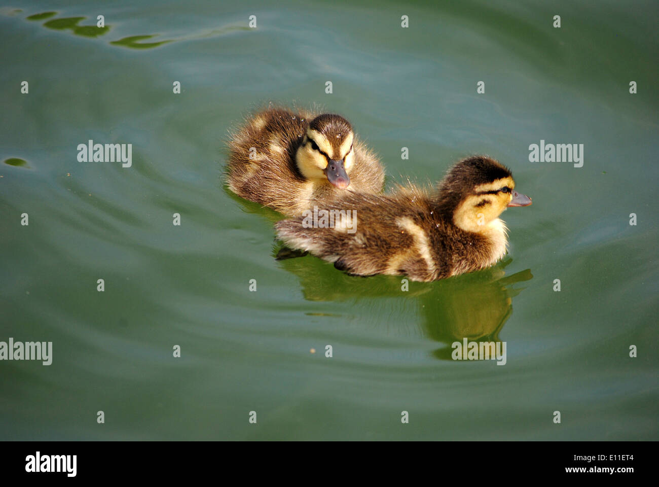 Baby ducklings,on the pond. - Stock Image