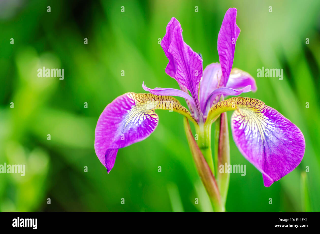 Poetic Purple Flower - Stock Image